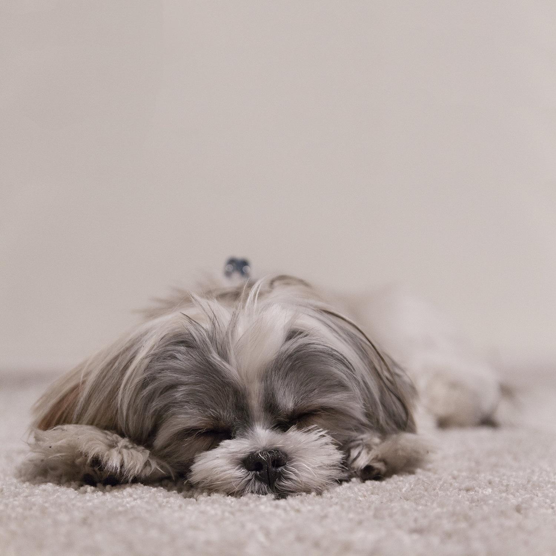 Pořizujete si domácího mazlíčka do bytu? Vsaďte na malá plemena psů nebo hlodavce