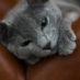 Jaká jsou nejoblíbenější plemena koček?